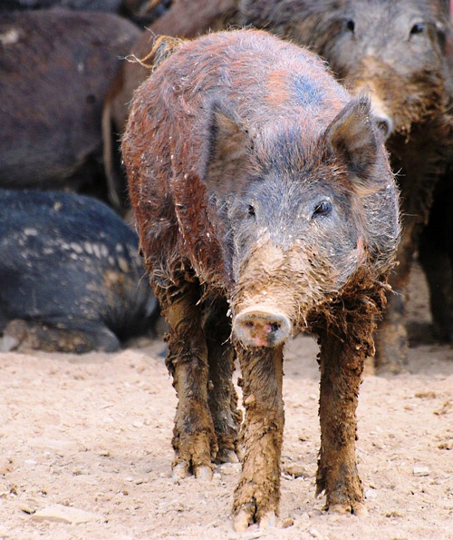 """A """"dune pig"""" from the Outer Banks"""